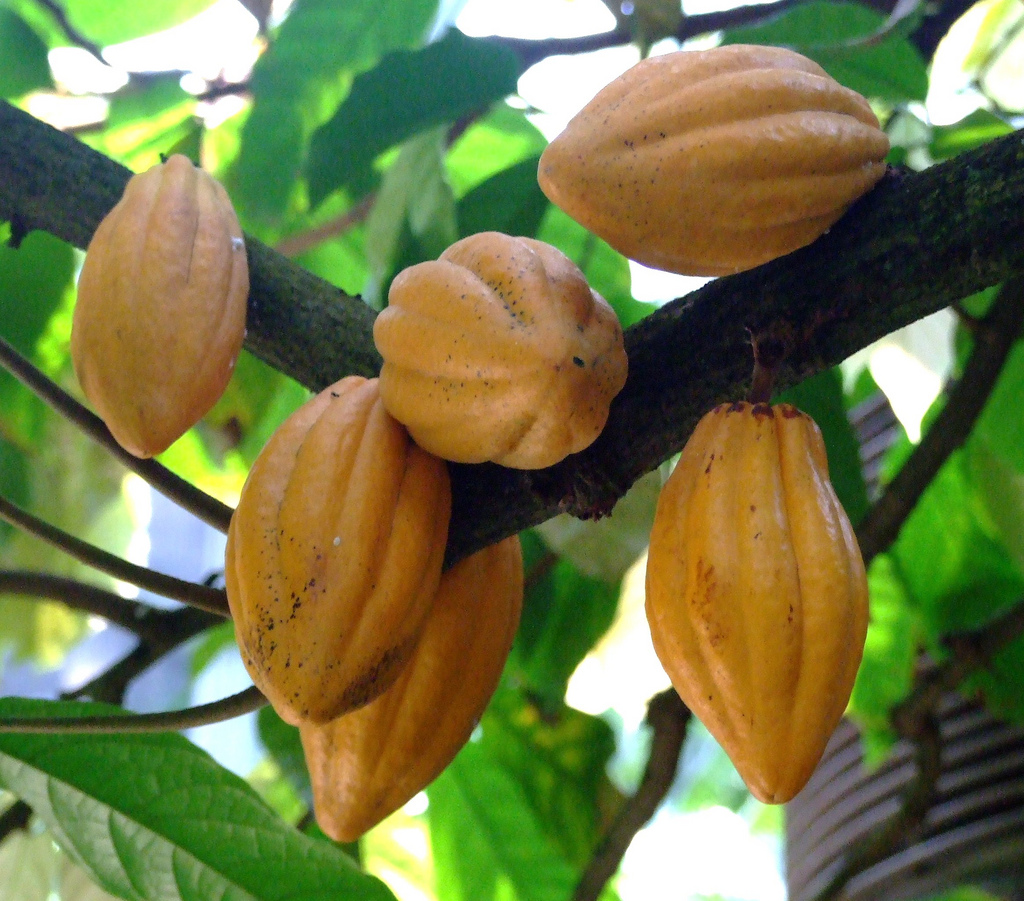 Chocolate/Cacao/Theobroma cacao