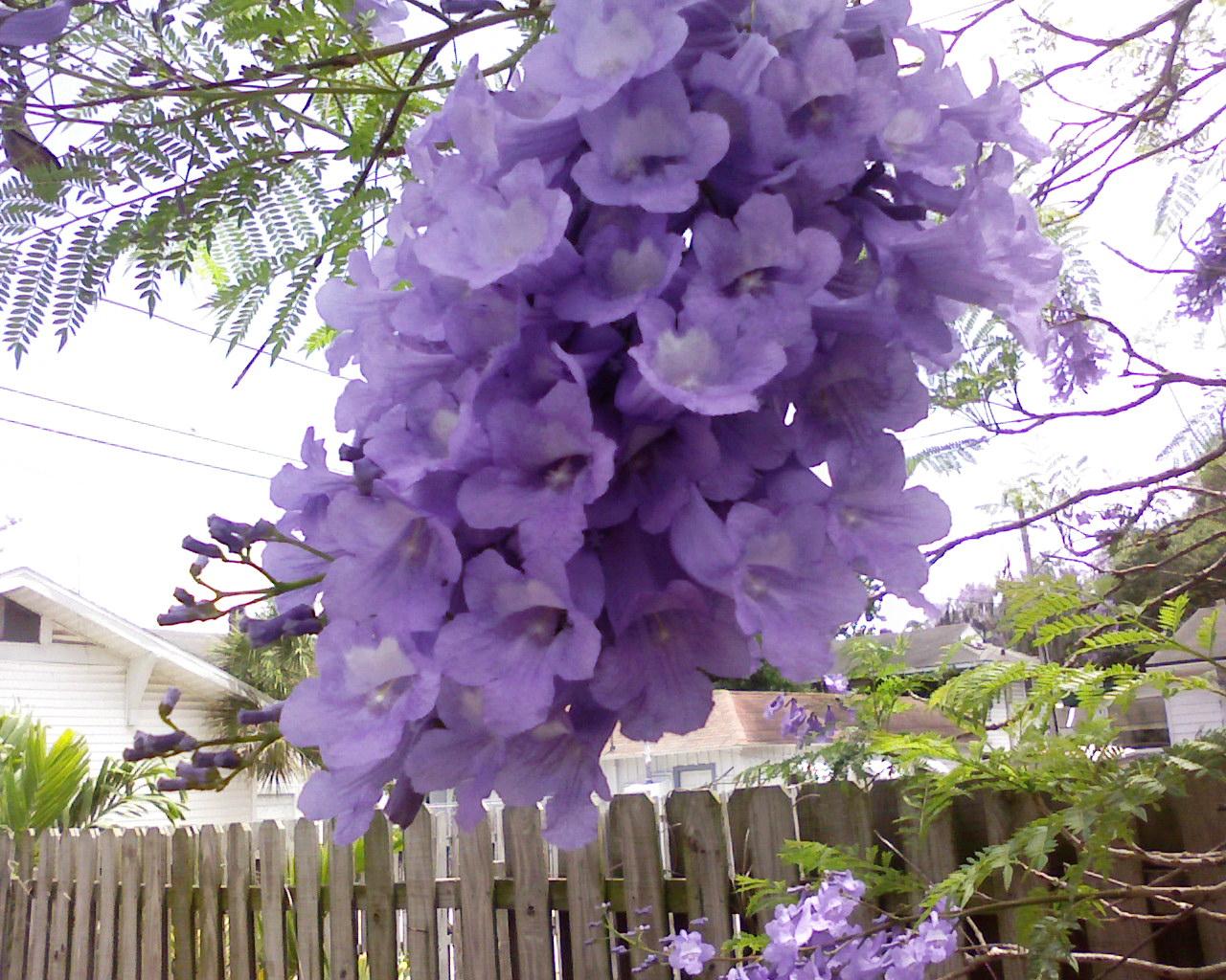Фото цветок жакаранда