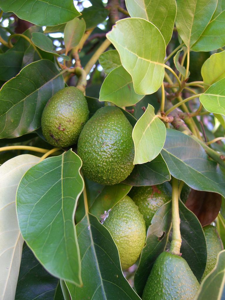 aguacate  avocado   p  americana