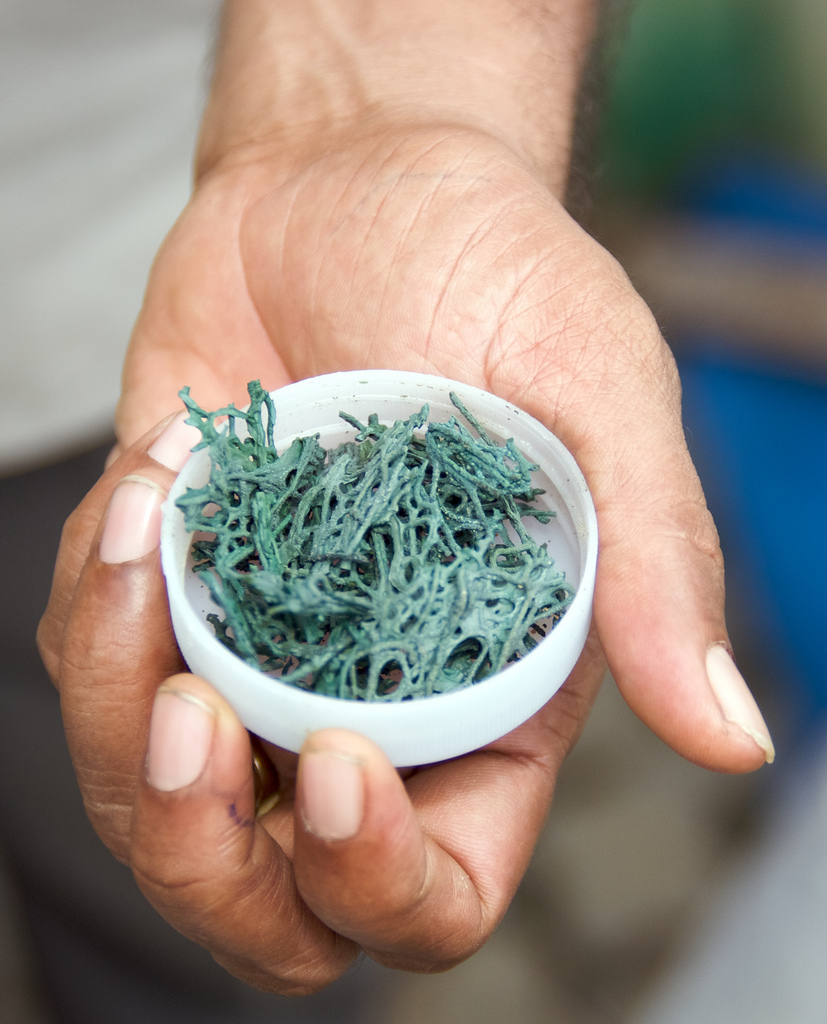 Spirulina and Cochayuyo | Zoom's Edible Plants