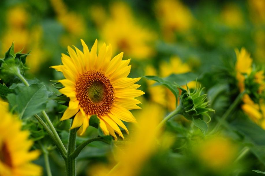 Girasol/Sunflowers/Helianthus Annuus   Zoom's Edible Plants