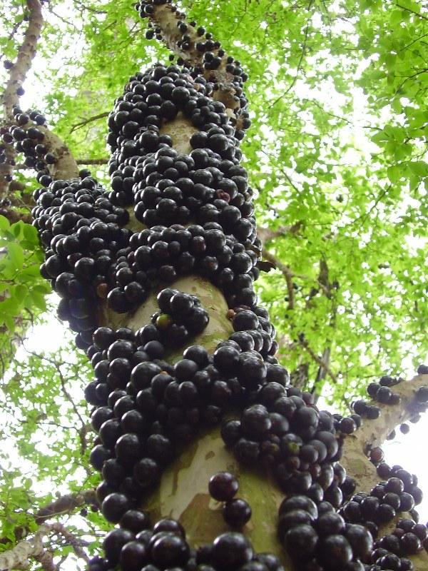 Jaboticaba/Brazilian Grape Tree/ Myrciaria cauliflora ...