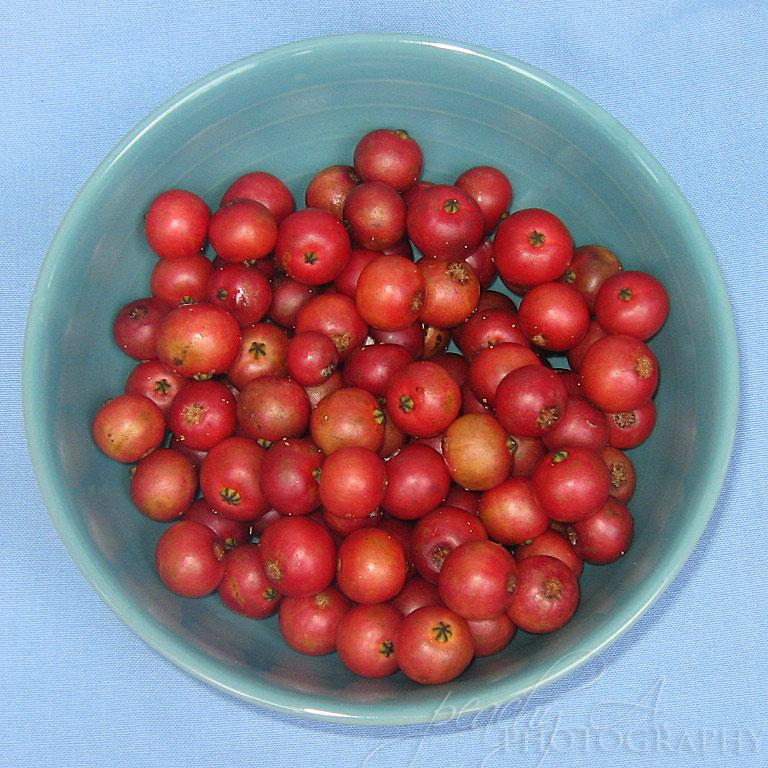 jamaican_cherry_muntingia_calabra