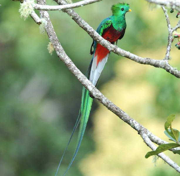 Quetzal/Pharamachrus mocinno | Zoom's Edible Plants