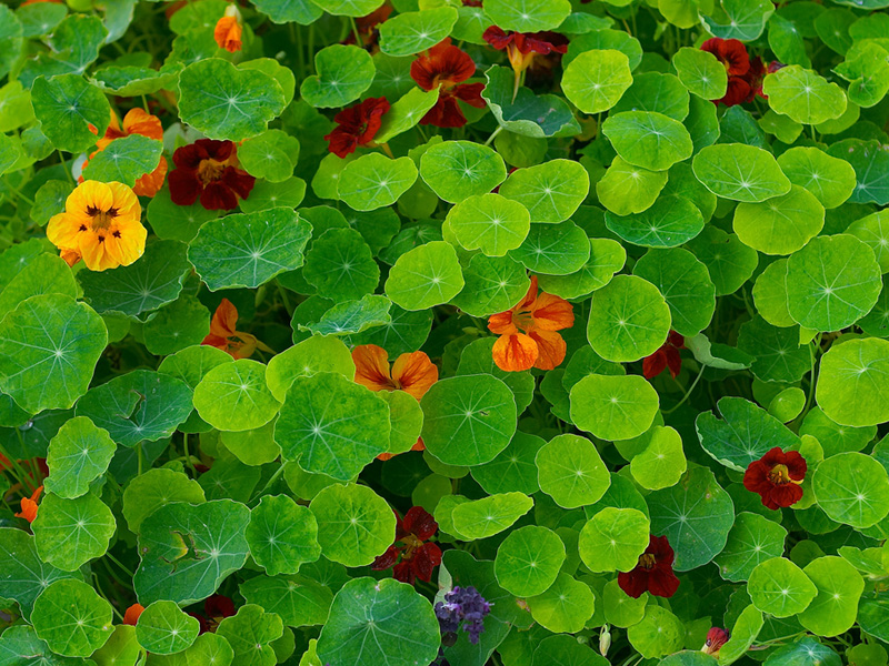 capuchina nasturtium tropaeolum majus zoom 39 s edible plants. Black Bedroom Furniture Sets. Home Design Ideas