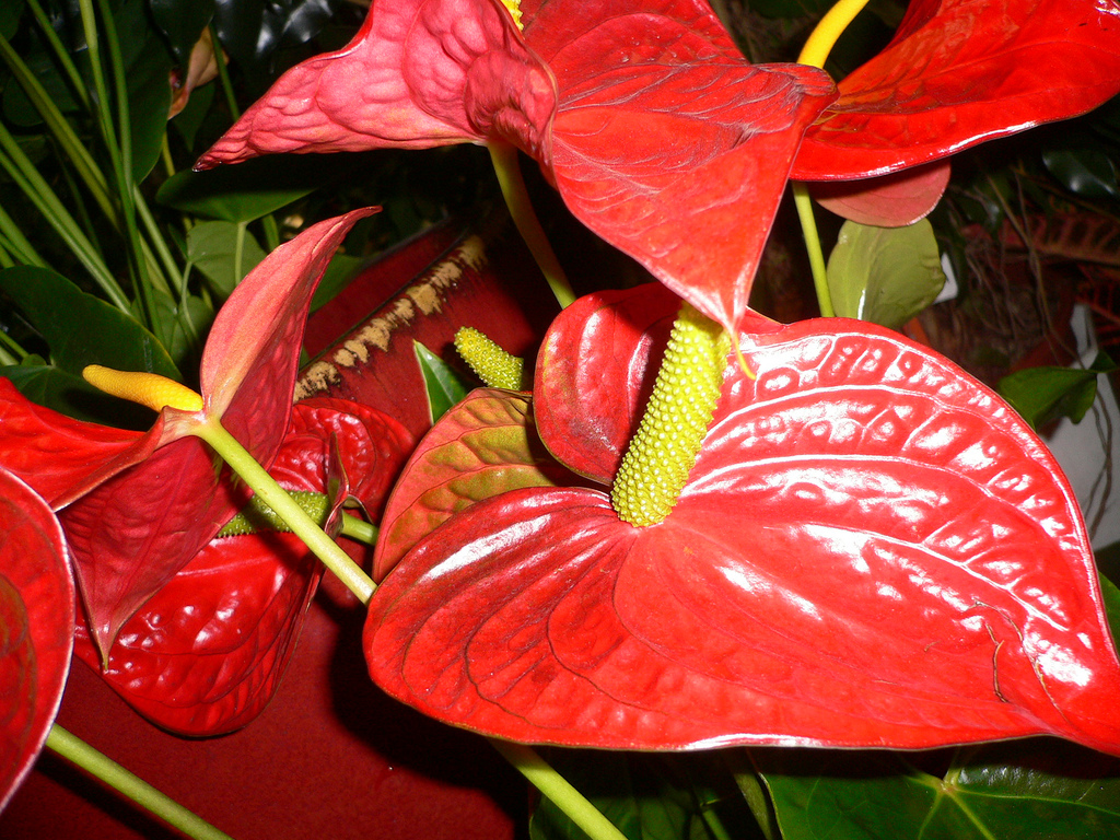 how to draw an anthurium flower