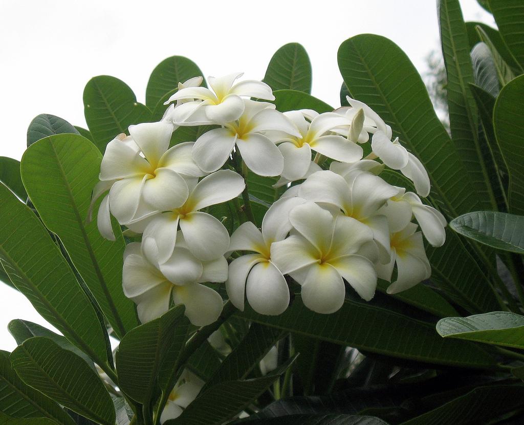 [Image: plumeria-frangipani.jpg]