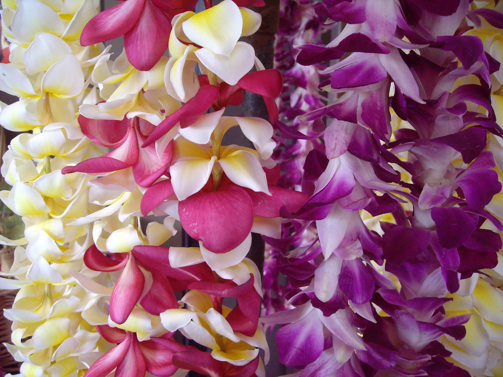 Flor de mayo Lei flower Plumeria frangipani