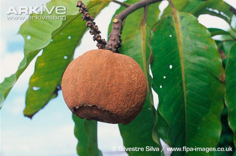 Brazilian tree cancer cure