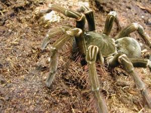 World's Biggest Spider: Theraphosa Blondi | Zoom's Edible ...