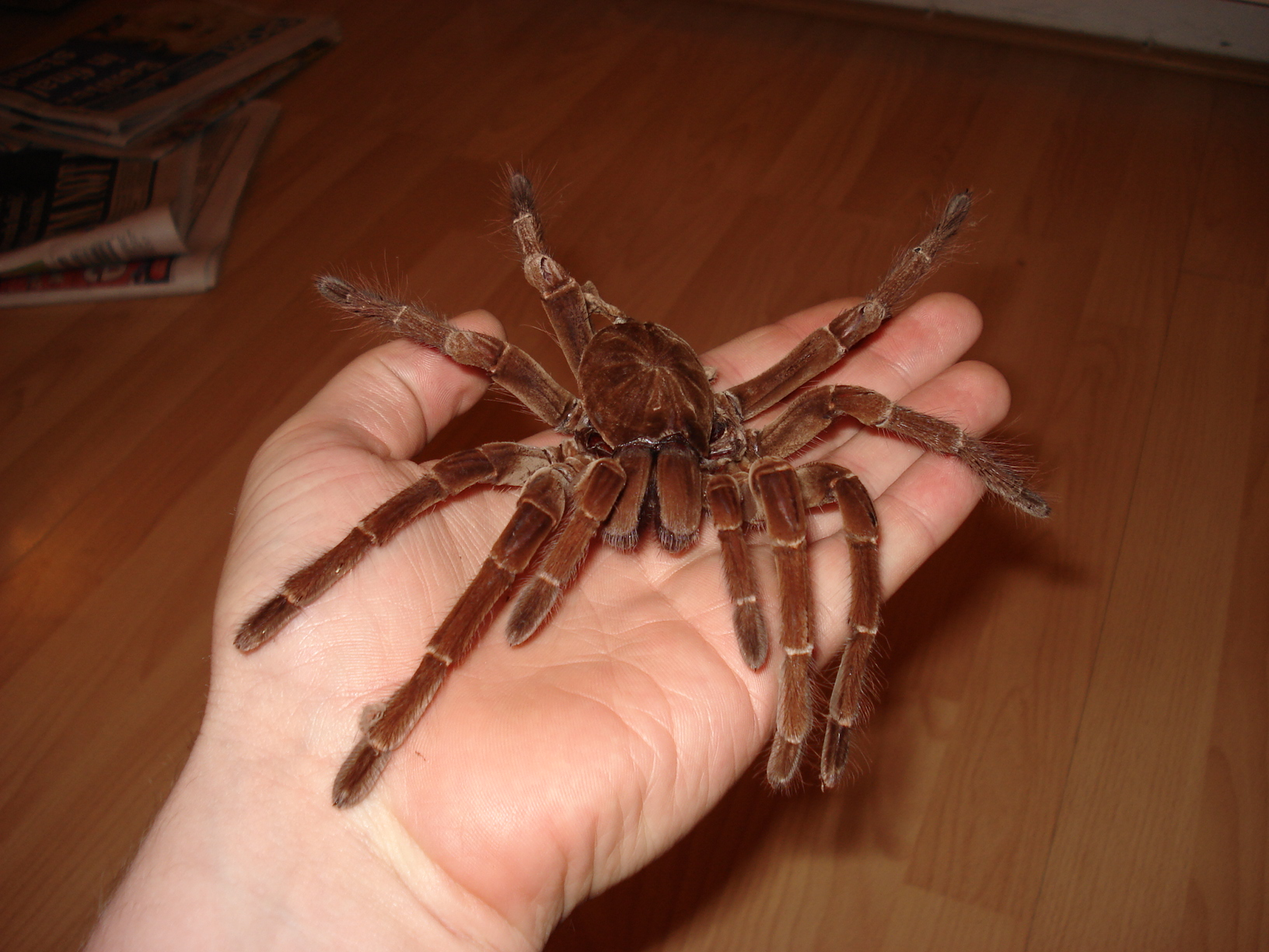 Afbeeldingsresultaat voor biggest spider in the world