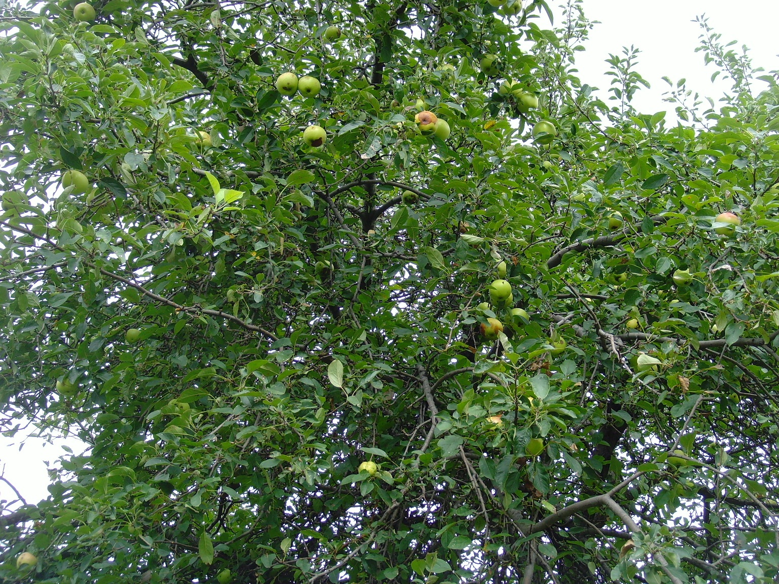 Oh, Good and Bad Apples in the Tree! | Zoom's Edible Plants