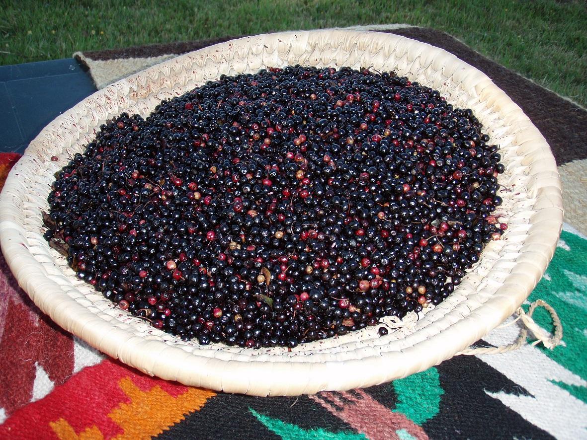 maqui chilean wineberry aristotelia chilensis zoom u0027s edible plants