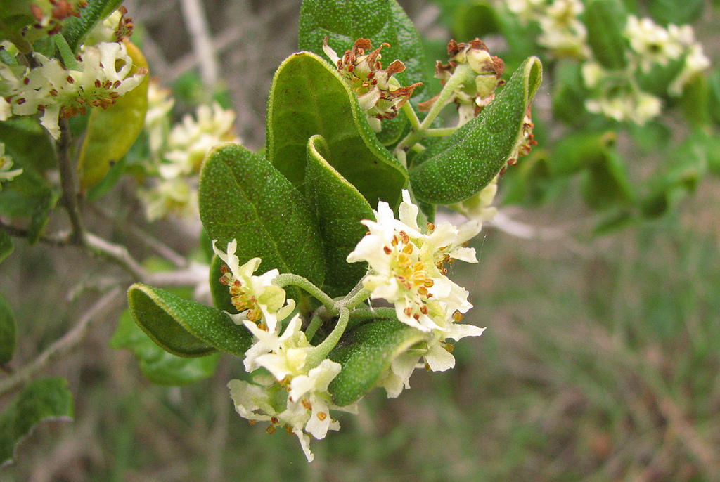 Baldina/Boldo leaves/Peumus boldus Molina | Zoom's Edible