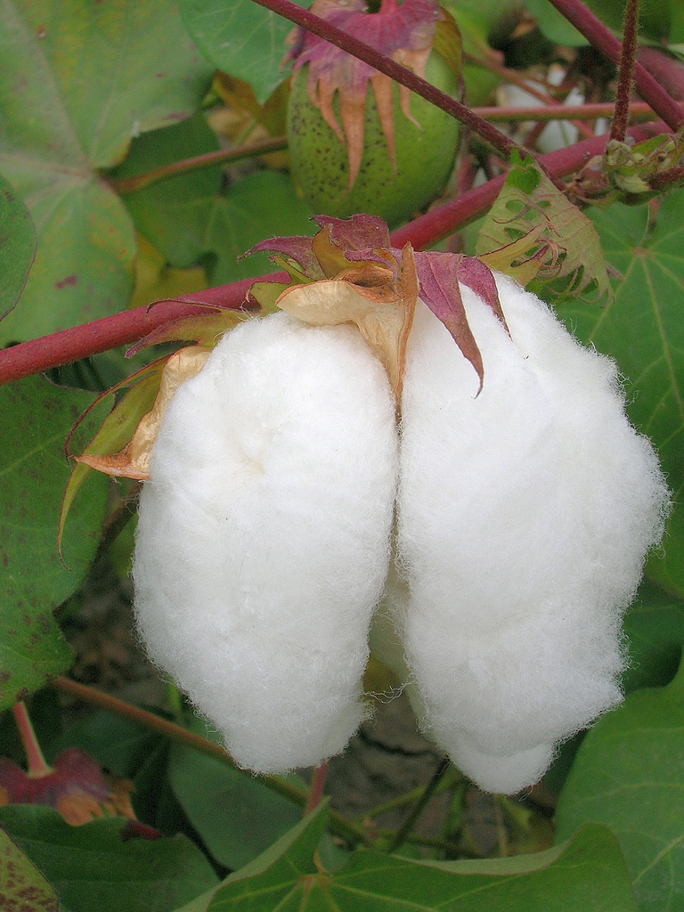 cotton plant singles over 50 Cotton is a plant that produces fibers , which are used to make clothes and other products, like towels by 1500 cotton was known all over the world.