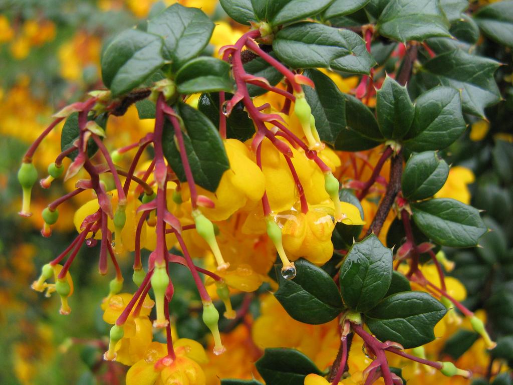 Фото барбариса цветка