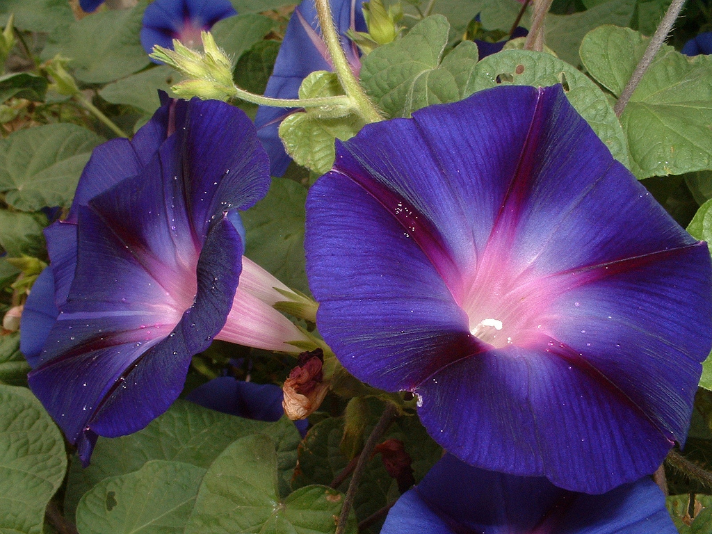 Ipomea/Morning glory/Ipomoea Violacea | Zoom's Edible Plants