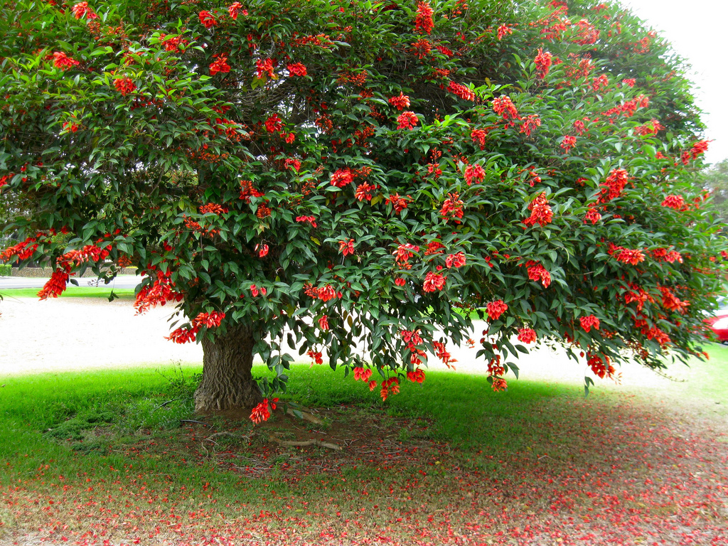 cresta de gallo cockspur coral tree erythrina crista galli zoom 39 s edible plants. Black Bedroom Furniture Sets. Home Design Ideas